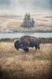 A bison in snow in Yellowstone National Park