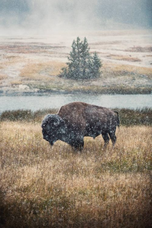 A bison in snow in Yellowstone National Park in winter