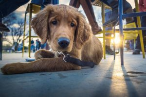 A puppy under a table in a restaurant in Austin Texas, one of the most dog friendly cities in the US