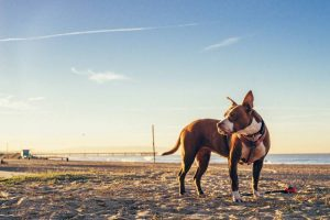 A dog in the beach in Los Angeles, notoriously one of the most dog friendly cities