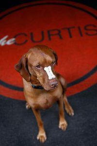 A dog with a bone resting on its nose at The Curtis Hotel in Denver, one of the country's most dog friendly hotels