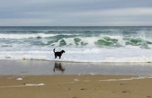 A dog playing on the beach in Provincetown, Massachusetts, one of the most dog friendly cities in the US