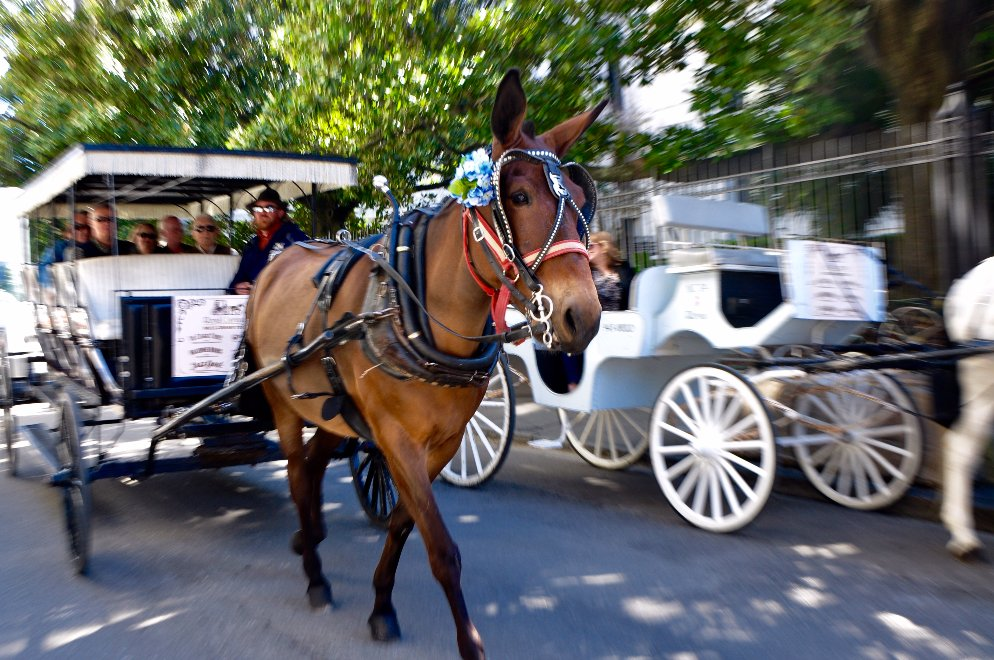 A mule pulling a carriage in New Orleans and another carriage in the background