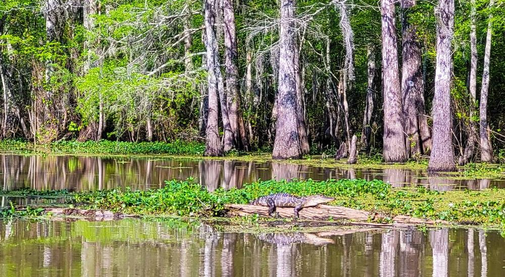 An alligator sitting on a log in a swamp near New Orleans